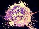 Dette er en hvit blodcelle