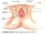 vulva2