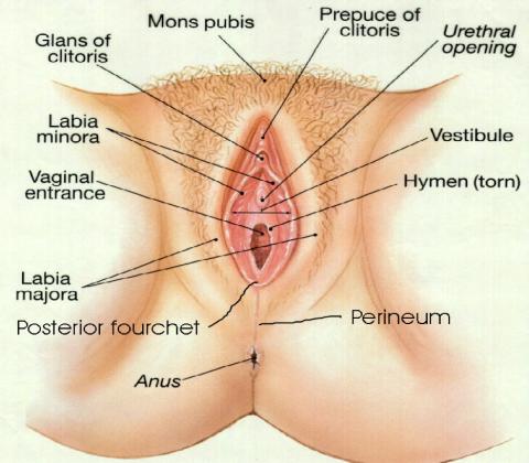 vulva3-jpg